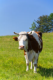 Grass-fed Cows Have Freedom to Move and Eat in Nature