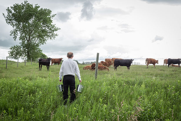 Grass-fed Cows in a Field