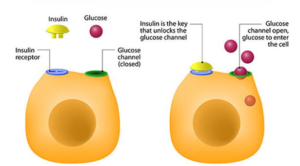 Picture showing how the hormone insulin works.
