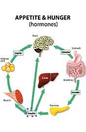 Illustration Explaining Leptin Resistance, Appetite, and Hunger.