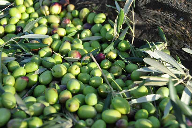 Picture of Portuguese Cobrancosa Olives After Picking.
